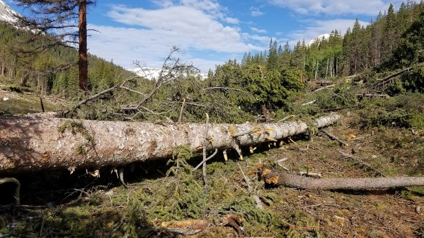 Large downed tree in forest - Restoration project on TinCup Pass on the Salida Ranger District of the Pike San Isabel NF performed by volunteers.